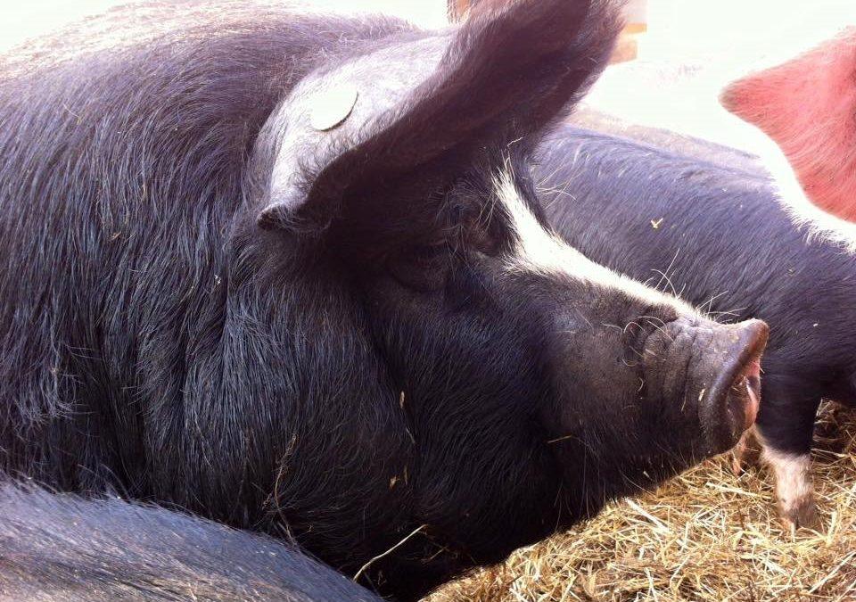 Schlachttag Berkshire Schwein am 13. August 2020