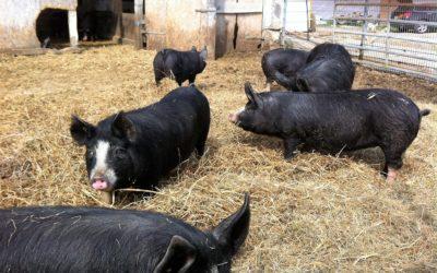 Schlachttag Berkshire Schwein am 16. Juli 2020